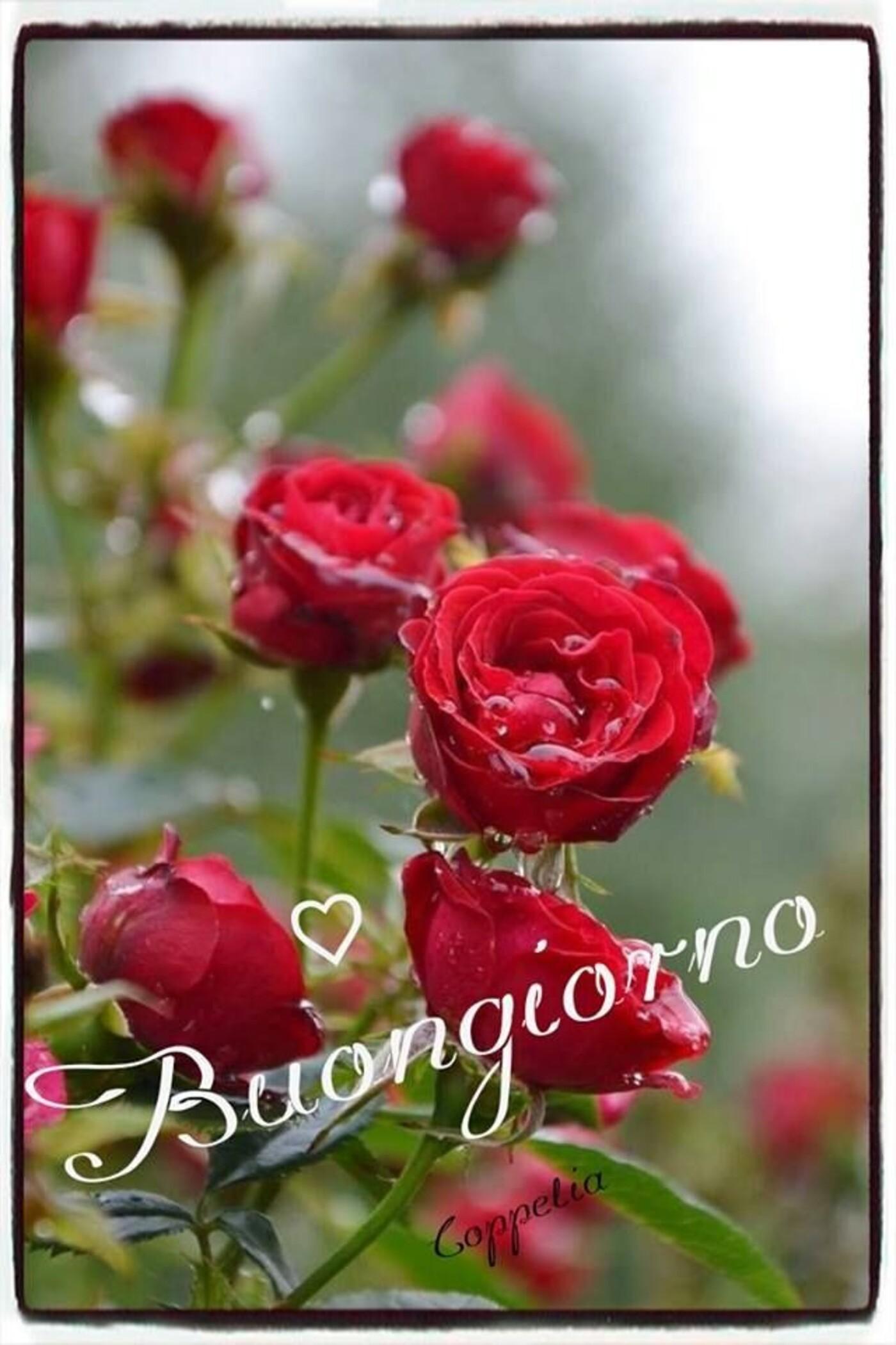 Buongiorno con le rose rosse